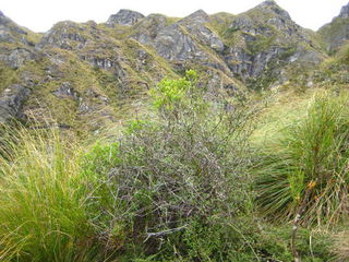 Mixed shrubs / tussocks