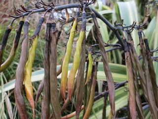 Flax seed pods