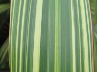 Close up of variegated flax leaf