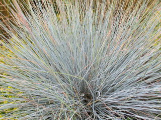 Tussocks & grasses approx 200mmx300mm when fully grown