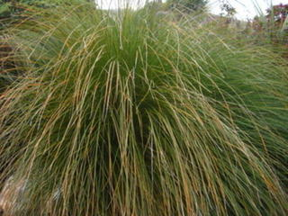 20/1 - Carex Secta