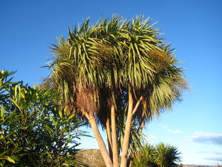 13 - Cabbage tree (Cordyline australis)