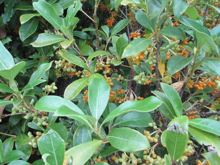 Coprosma robusta in fruit