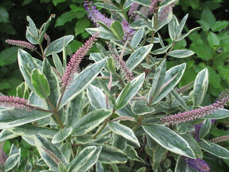 Hebe andersonii \'variegata\' - New Zealand Native Plants
