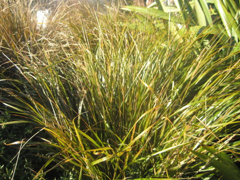 20/16 - Wind grass (Anemanthele lessoiana)