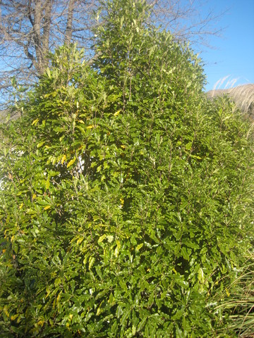 28/3 Lemonwood (Pitto eugenioides)
