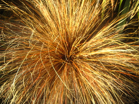 20/15 - Carex buchananii